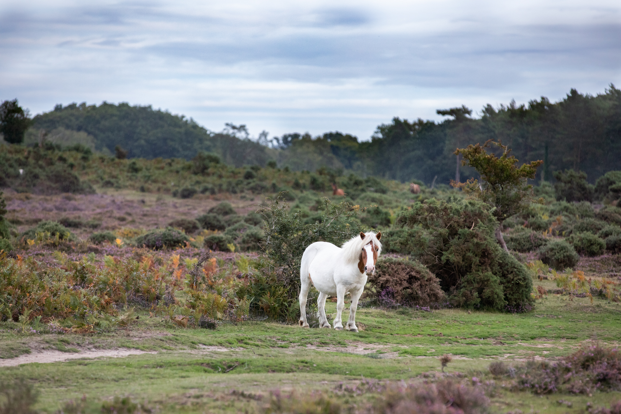 horse in the new forest